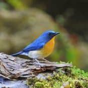 Bird | Blue Flycatcher
