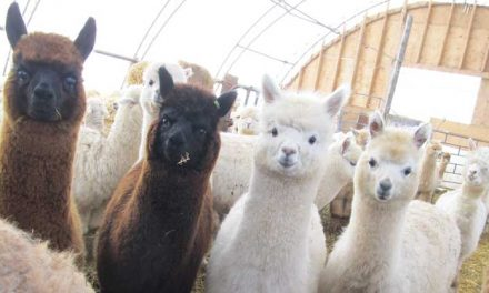 2017 NatCroMo Blog Tour, March 3: A to Z Alpacas