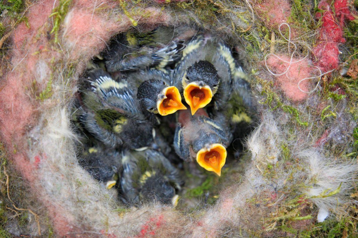 Nesting Birds Love Alpaca Fiber